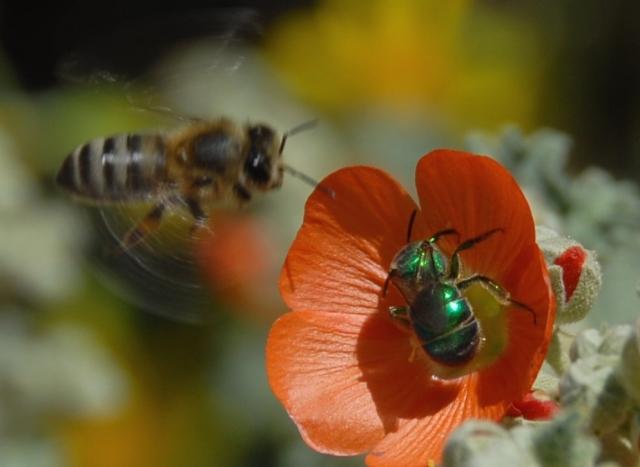 Bee Battle on the globe mallow