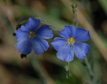 The blue flax are just starting to flower