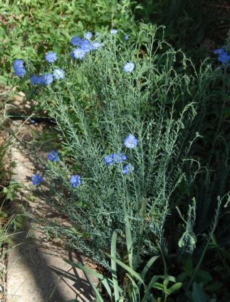 Blue Flax (3).web