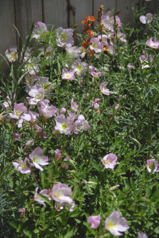 Evening Primrose in bloom