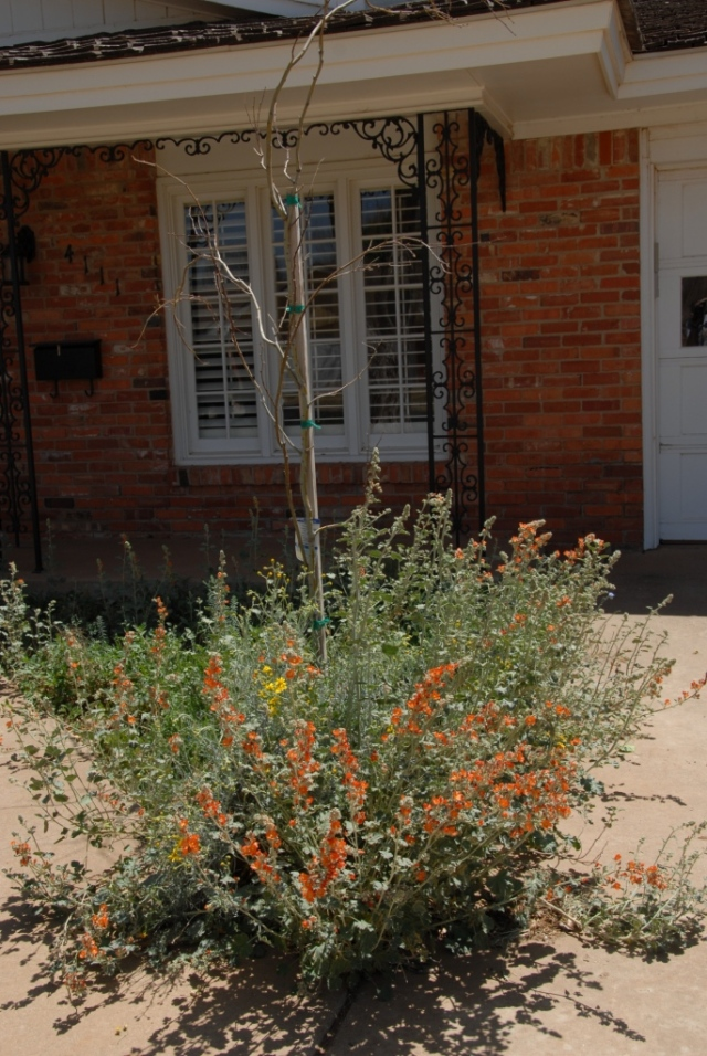 Globe mallows going mad in the triangle in the front of the house. The mesquite behind is yet to leaf out.