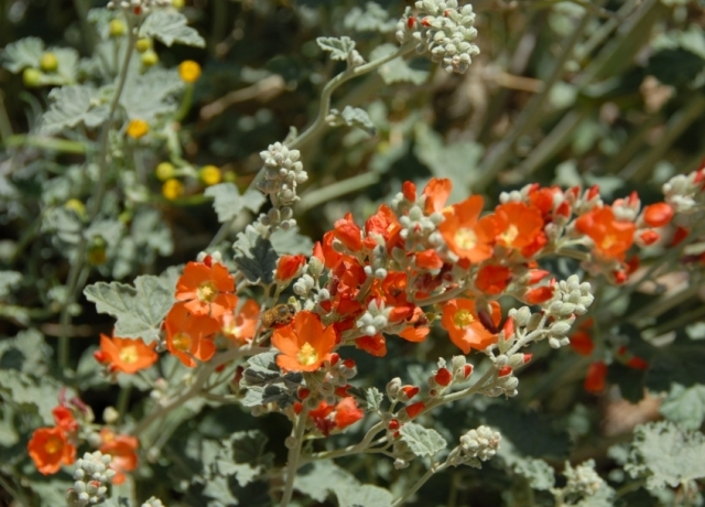 I'm really into these native globe mallows -- the bees go mad for them, they produce millions of seeds, and they also transplant well. I'm planning to collect and germinate seeds for transplant so I can get some more into the backyard.