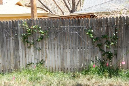 Tigga's cheapo trellis -- string and nails! Hoping to encourage the two plants to fill in the gap