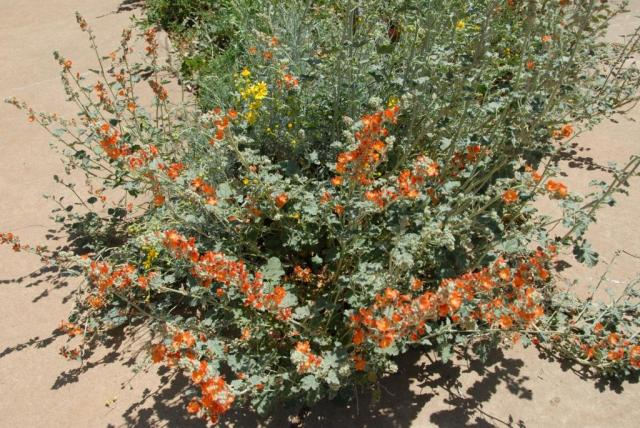 The front triangle was seeded with Western Wonder's Western Wildflower Mix (which used to be the Llano Estacado mix).