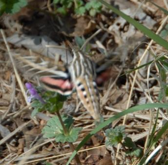 White-lined Sphinx Moth 2013 web